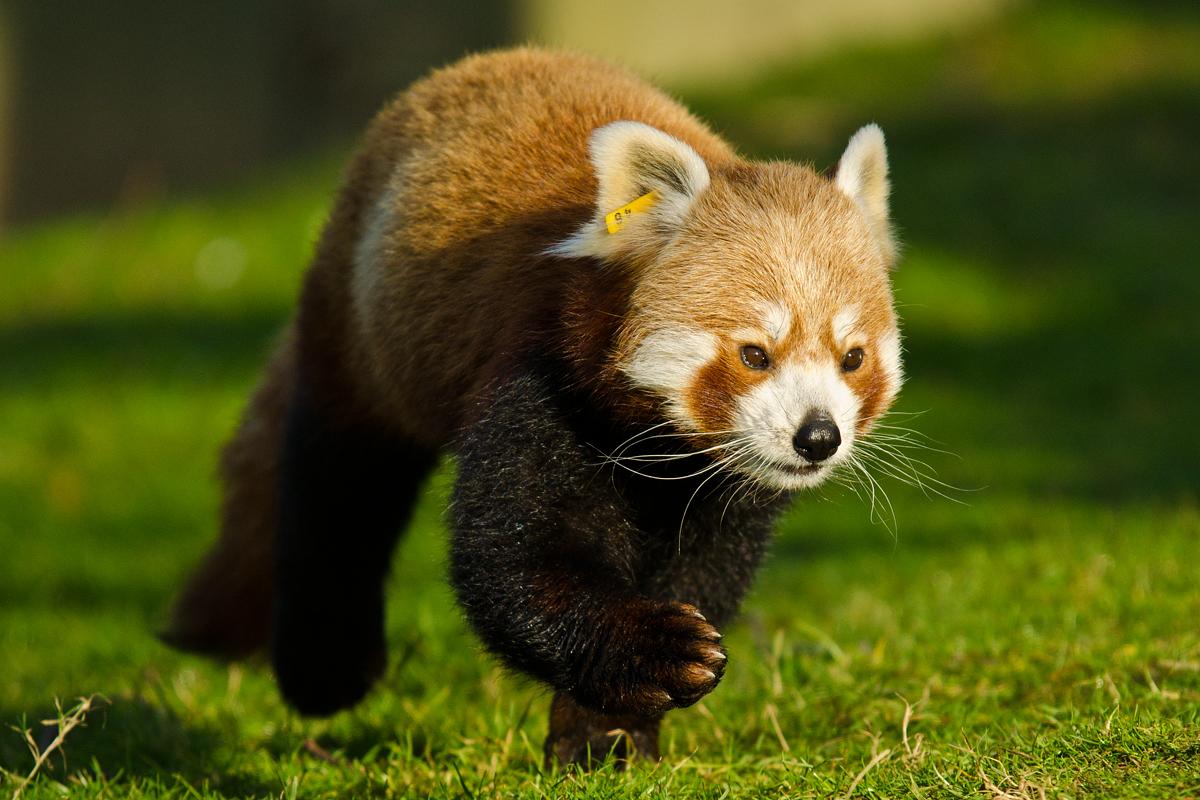 Kleiner Panda / Roter Panda