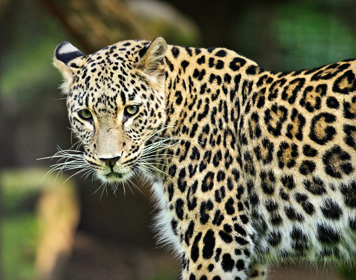 Persischer Leopard